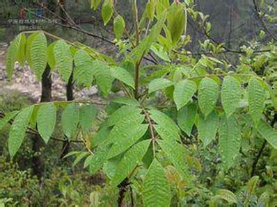 木蜡树根 - 药材大全 - 全息保健网