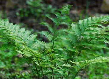 拉丁植物动物矿物名:athyrium multidentatum (doell.)ching[a.